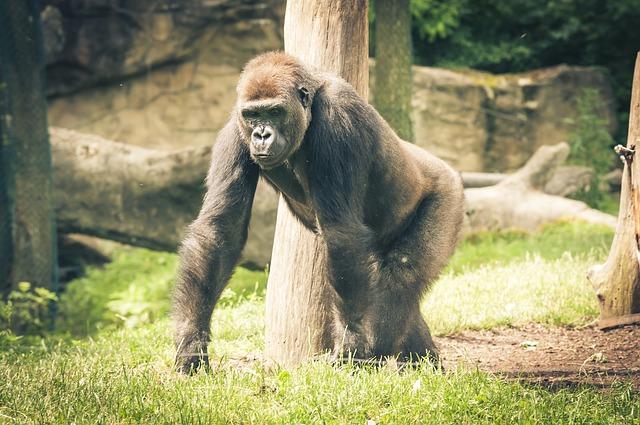 gorila u stromu.jpg